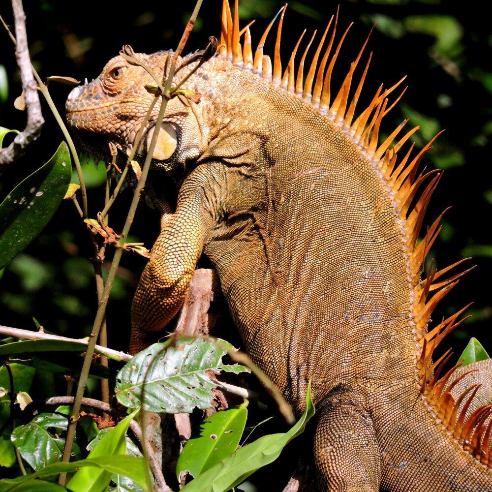 Un des nombrexu iguanes vus au Costa Rica