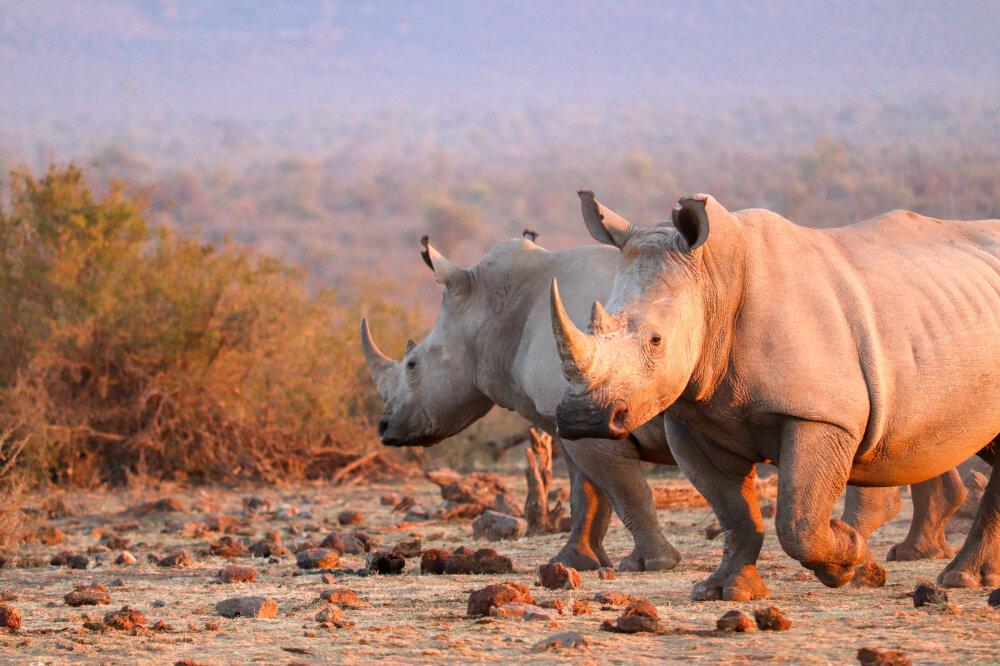 Rhinoceros - Madikwe Game Reserve