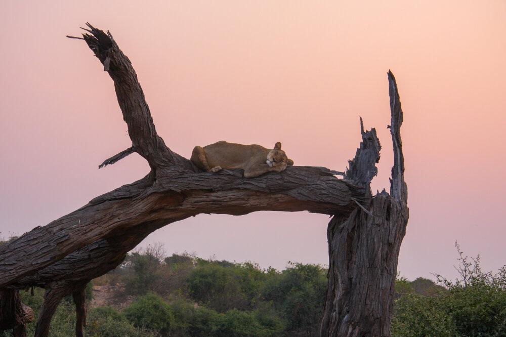 Une lionne qui se prend pour un léopard à Chobe