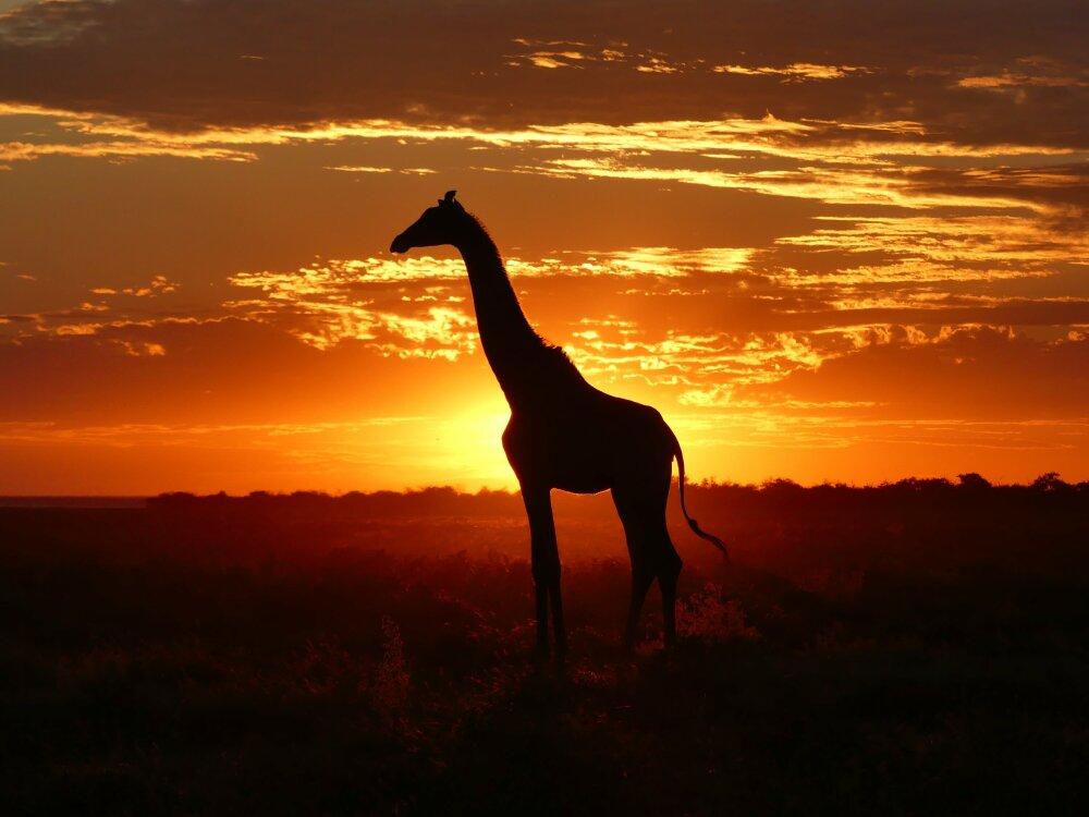 Girafe au coucher de soleil