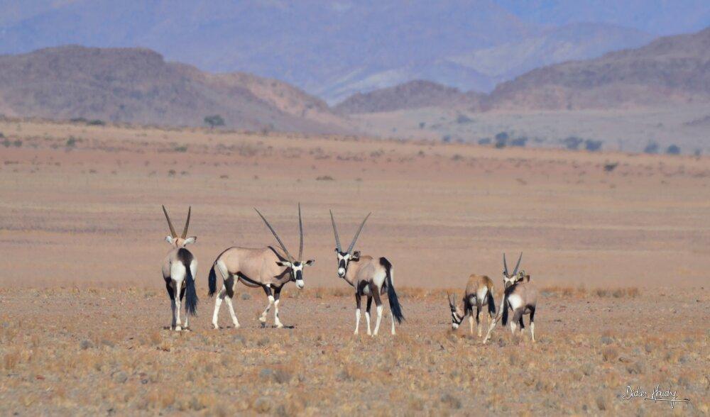 Des oryx, symboles de la Namibie