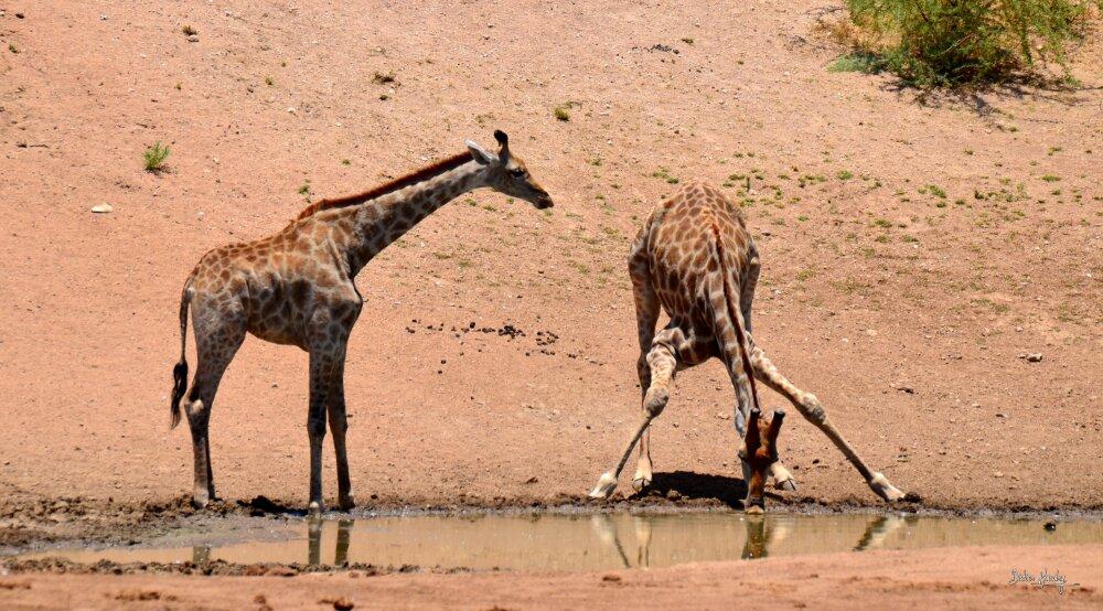 Girafes au poin d'eau
