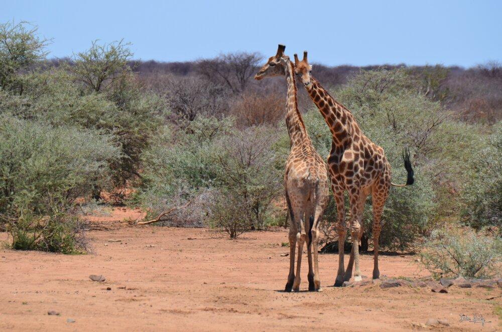 Combat de girafes