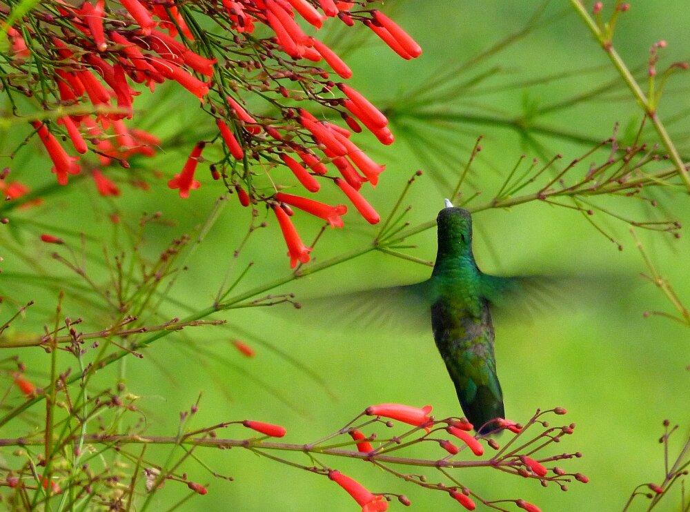 Colibri butineur