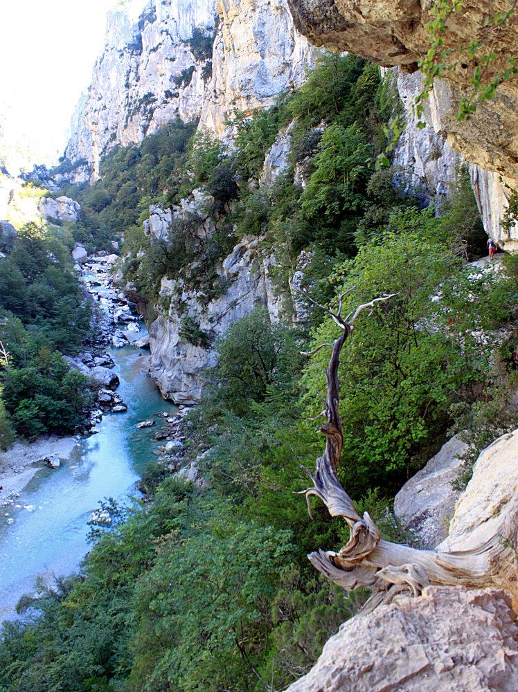 Genévrier cade, espèce emblématique, dans le grand canyon du Verdon