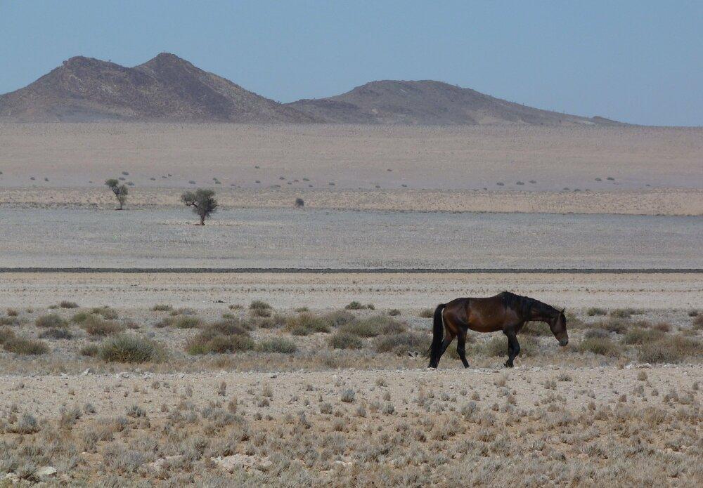 A la recherche des chevaux du désert