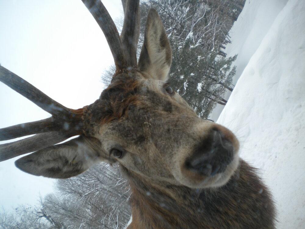 Wapiti selfie!