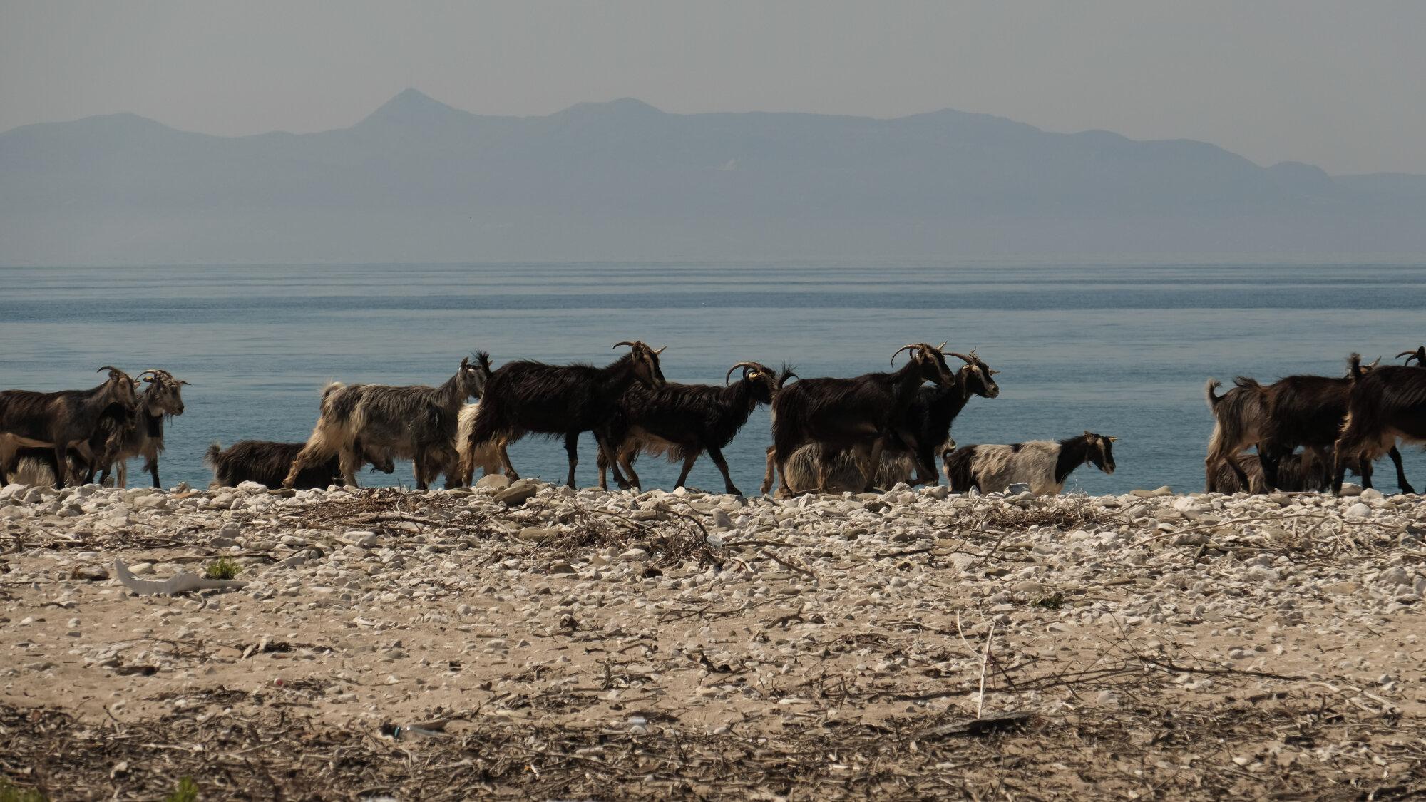 Chèvres à la plage