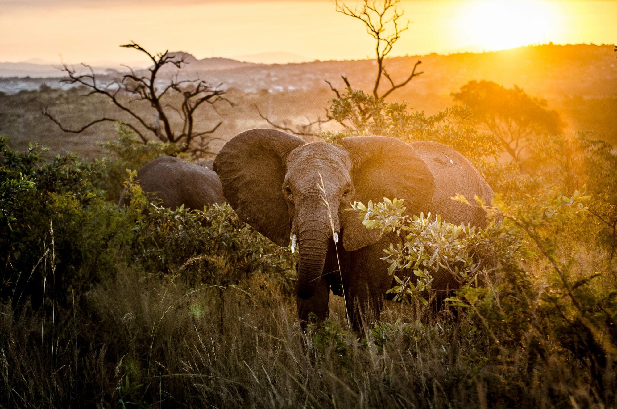 Éléphant dans le couchant