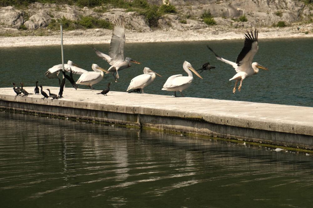Pélicans dans le port de Psarades