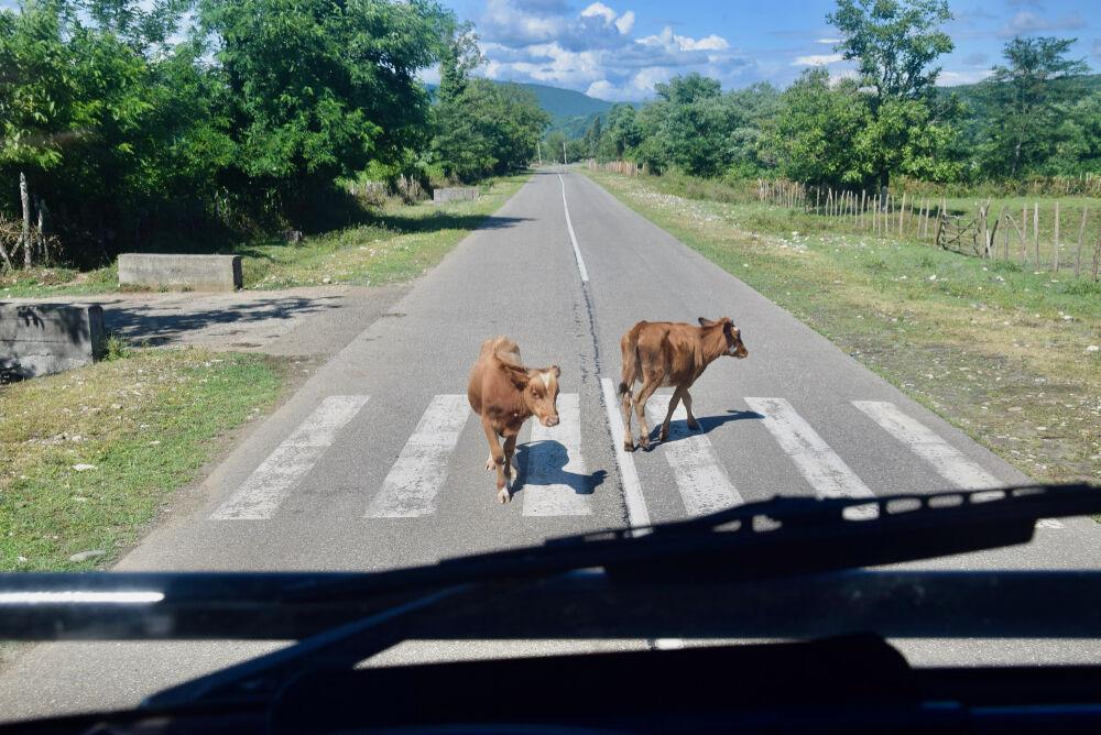 Les vaches de routes