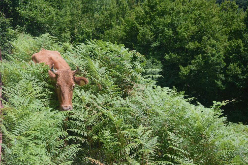 Les vaches des bois