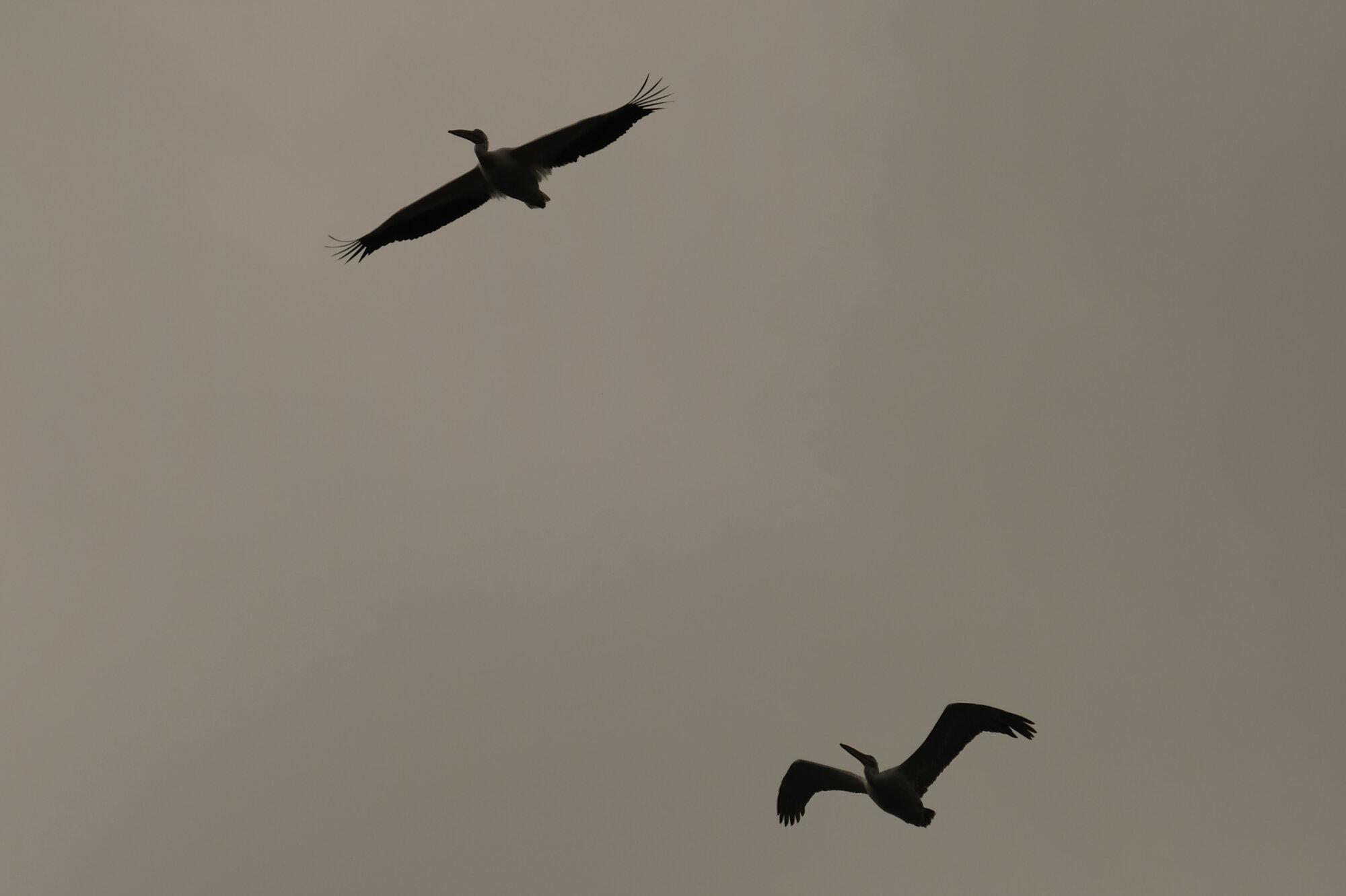 Pélicans au-dessus des lacs Prespa