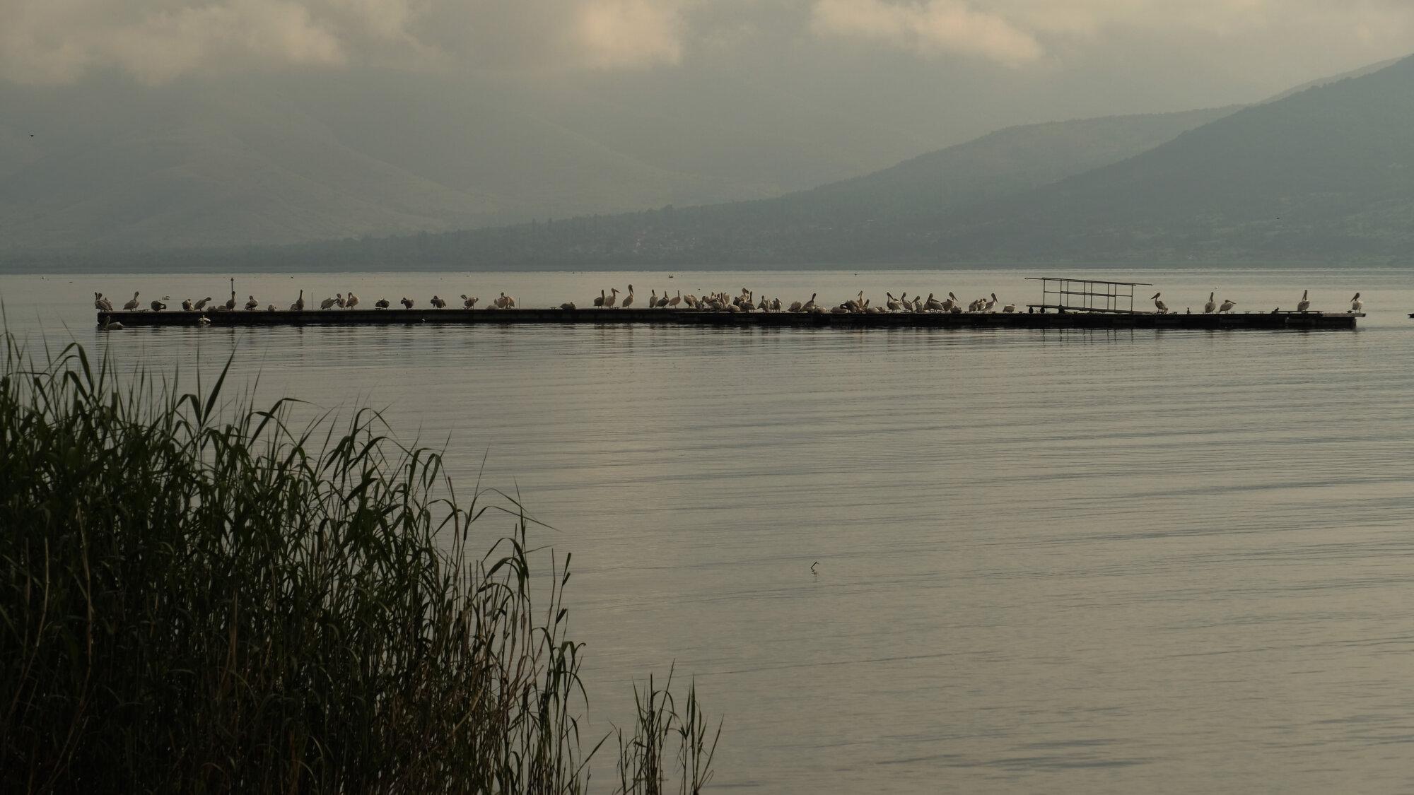 Pélicans sur le grand lac Prespa